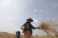 In this file photo from 2011, farmers work in a rice field in Dala Township, near Rangoon. (PHOTO: Reuters)