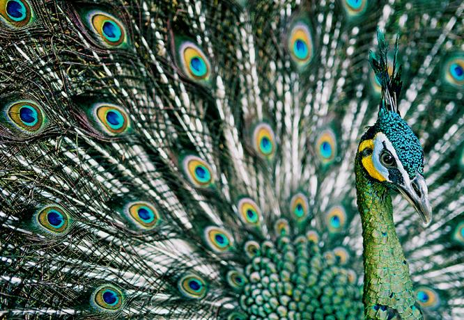 Burmese proud of their peacock