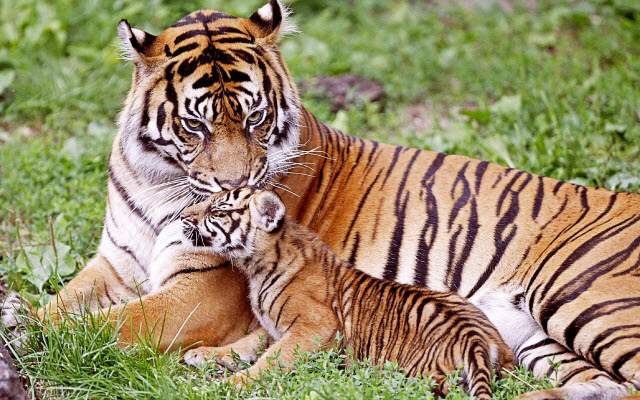 Creating hybrids may save Asia's tigers, say scientists