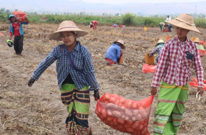 Modern techniques aim to boost potato yields in Shan State