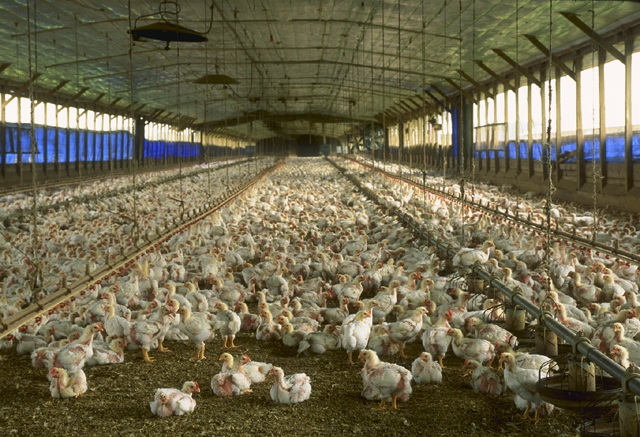 Exporter cuts ties with Thai chicken farm after abuse allegations