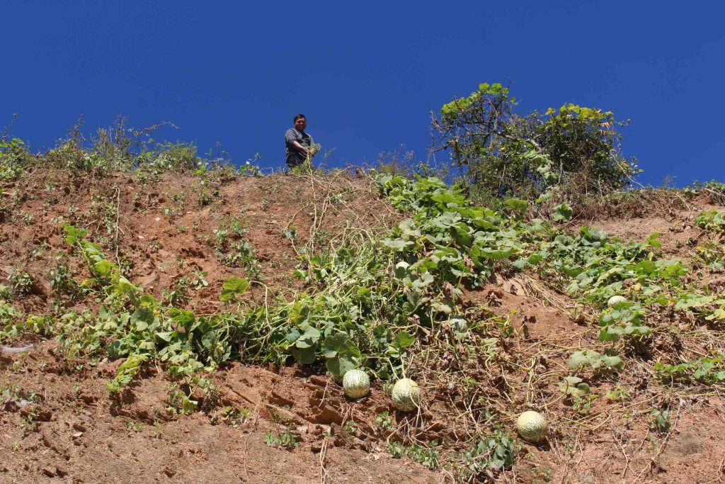 Farmer outside of Falam tending to his melon vines. (PHOTO: Libby Hogan/DVB)
